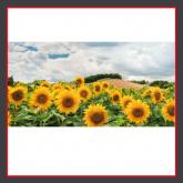 Sonnenblumenfeld_BZB